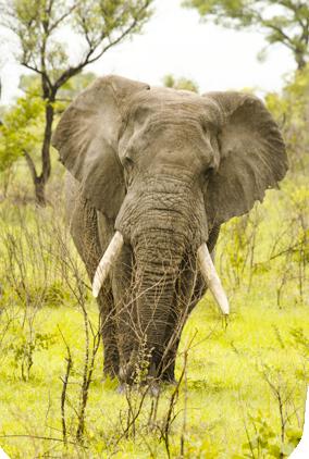 elefante  VIAJE SUDAFRICA  Y SWAZILAND