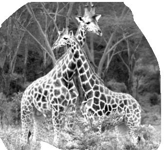 girafa VIAJES TANZANIA