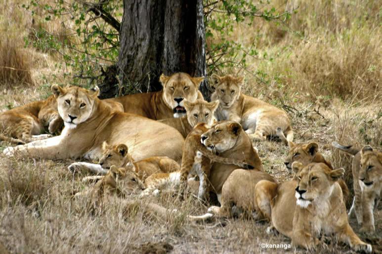 flora y fauna salvaje : Leon africano