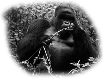 gorila viaje uganda
