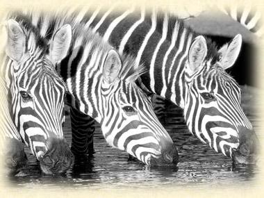 cebras  VIAJES MOçAMBIQUE,ZAMBIA, MALAWI Y SUR DE TANZANIA