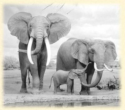 elefante  VIAJES MOçAMBIQUE,ZAMBIA, MALAWI Y SUR DE TANZANIA