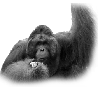 viaje malasia orangutan