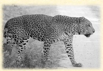 viajes srilanka leopardo