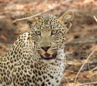 "<strong>""Mirada de Leopardo""<span> de Luis Bruno Moreno Ruiz</span></strong><a href=https://www.pasaporte3.com/africa/viajes/botswana-victoria/botswana-victoria.php target=blank>Río Perdido Clásico</a>"