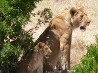 Leones. Masai Mara: Etiopía, Kenya, Tanzania