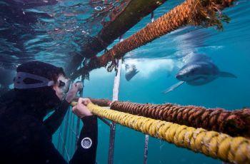 Actividad incluida tiburón blanco. Gaansbay. Sudáfrica.: Sudáfrica, Swaziland