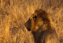 León en PN Kruger: Sudáfrica, Swaziland, Lesotho