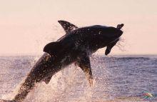 Breaching White Shark. Sudáfrica: Sudáfrica, Swaziland, Lesotho
