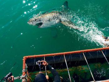 Actividad incluida tiburón blanco. Sudáfrica.: Sudáfrica, Swaziland, Lesotho