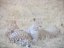 Leopardos Moremi. Botswana: Botswana, Cataratas Victoria