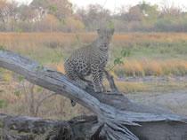 Leopardo, Moremi. Botswana: Botswana, Cataratas Victoria
