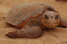 Desove tortugas (Sal): Cabo Verde