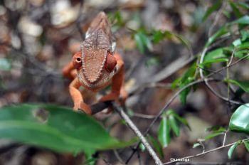 Camaleón en P.N. Marojejy: Madagascar