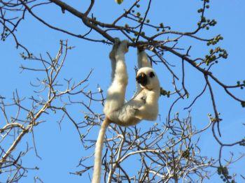 Lemur Sifaka en P.N. Tsingy de Bemaraha: Madagascar