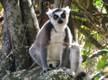 Lemur de cola anillada: Madagascar
