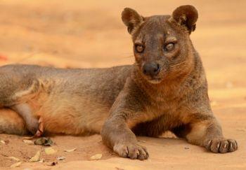 Fosa: Madagascar