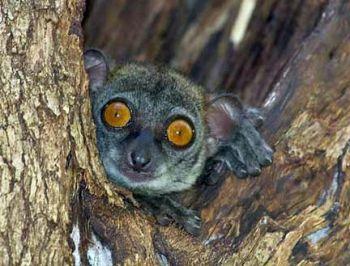 26 Lepilemur: Madagascar