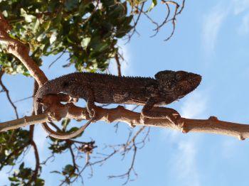 34 Camaleón: Madagascar
