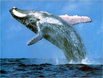 Isla de Sainte Marie, ballenas jorobadas: Madagascar