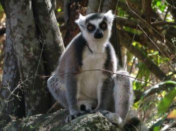 Lemur de cola anillada en Reserva de Anja: Madagascar