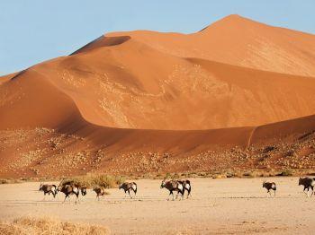 Orix en el desierto Namib. Namibia.: Namibia