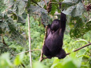 P.N. Bwindi: Uganda, Rwanda