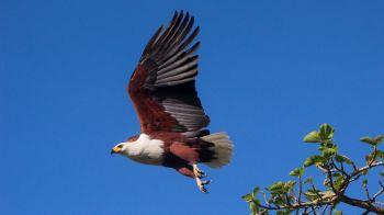 Águila en P.N. Murchison Falls: Uganda
