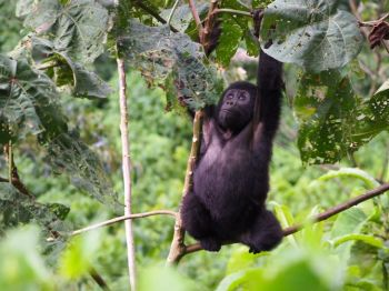 Gorila en P.N. Bwindi: Uganda