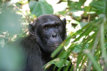 Chimpancé en Budongo Forest: Uganda