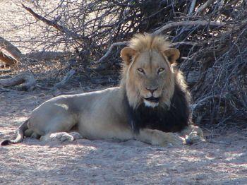 León de melena negra. Kagalagadi Transfrontier NP. Sudáfrica.: Namibia, Botswana, Cataratas Victoria, Sudáfrica