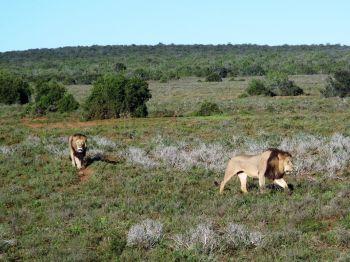 Safari en 4x4. Kruger national park. Sudáfrica.: Sudáfrica, Mauricio