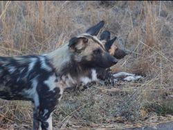Licaones en Kruger NP. Sudáfrica: Sudáfrica, Mauricio