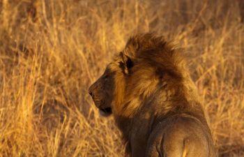 León. PN Kruger. Sudáfrica.: Sudáfrica, Mauricio