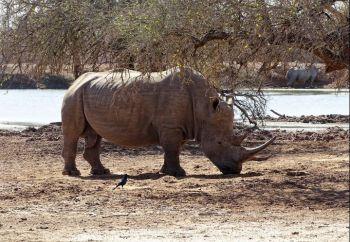 Rinoceronte en PN Kruger. Sudáfrica.: Sudáfrica, Mauricio
