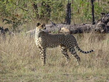Guepardo en PN Kruger. Sudáfrica.: Sudáfrica, Mauricio