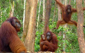 Orangutanes en el PN Tanjung Putting- Borneo: Indonesia
