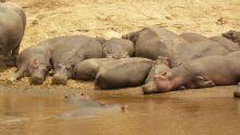 Hipos Masai Mara: Kenya