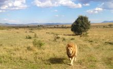 León Masai Mara: Kenya