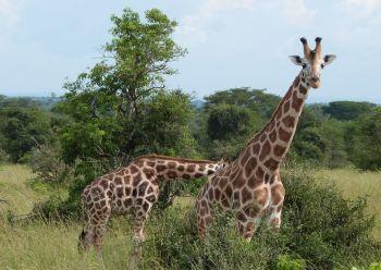 Fauna en el PN Murchison Falls. Uganda: Uganda, Kenya, Tanzania, Zanzíbar
