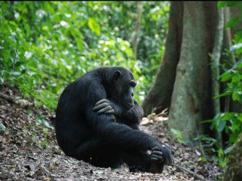 Chimpancé en Budongo Forest. Uganda: Uganda, Kenya, Tanzania, Zanzíbar
