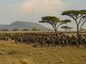 La migración en el río Mara. Reserva Masai Mara. Kenya: Uganda, Kenya, Tanzania, Zanzíbar