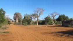 MFS baobabs: Madagascar