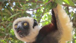 MFS Lemur : Madagascar