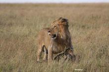 León junto a su presa. Masai Mara. Kenya: Tanzania, Kenya, Zanzíbar
