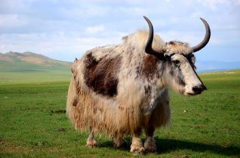 Yak: Mongolia