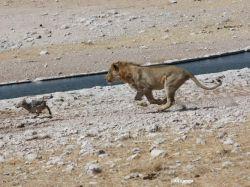 León cazando foto cedida por Sara Roure. Etosha NP: Namibia