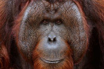 Mirada de un orangután: Indonesia
