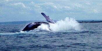 Safari Marino, ballena jorobada. Isla de Mozambique. Mozambique.: Zambia, Malawi, Mozambique