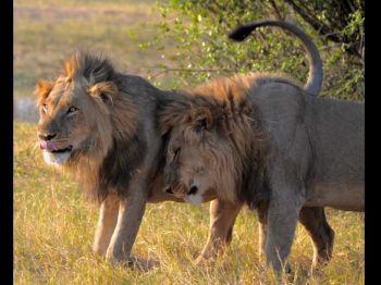 Leones en la reserva de Moremi, Botswana.: Botswana, Cataratas Victoria